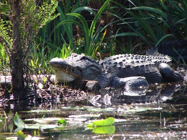 Il coccodrillo dell'Okefenokee
