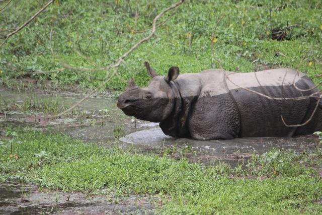 Parco di Chitwan - il raro rinoceronte ad un corno solo