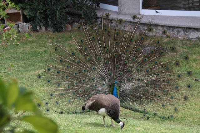 Contepec, Mundo Granjero, tra i mille animali anche la danza del pavone