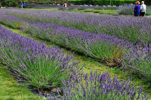 Campi di lavanda della Lavender Farm
