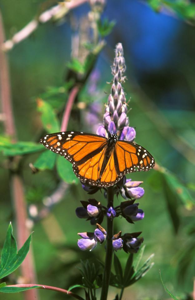 La (farfalla) Mariposa Monarca