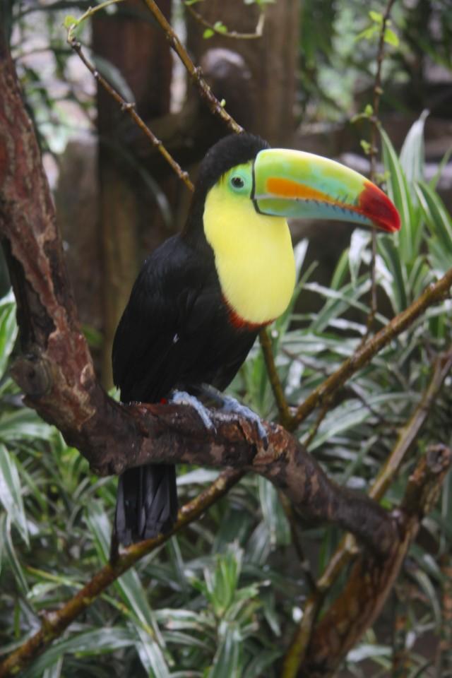 Uno dei tucani della Costa Rica