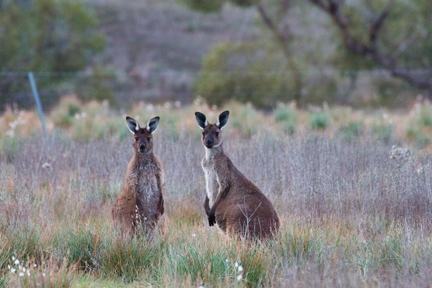 Una coppia di canguri (paiono dentro una casa, ma con un salto sono liberi in natura)