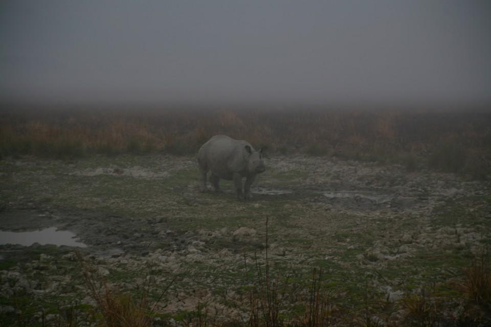 Quando nella radura nebbiosa spunta un rinosceronte ad un corno solo