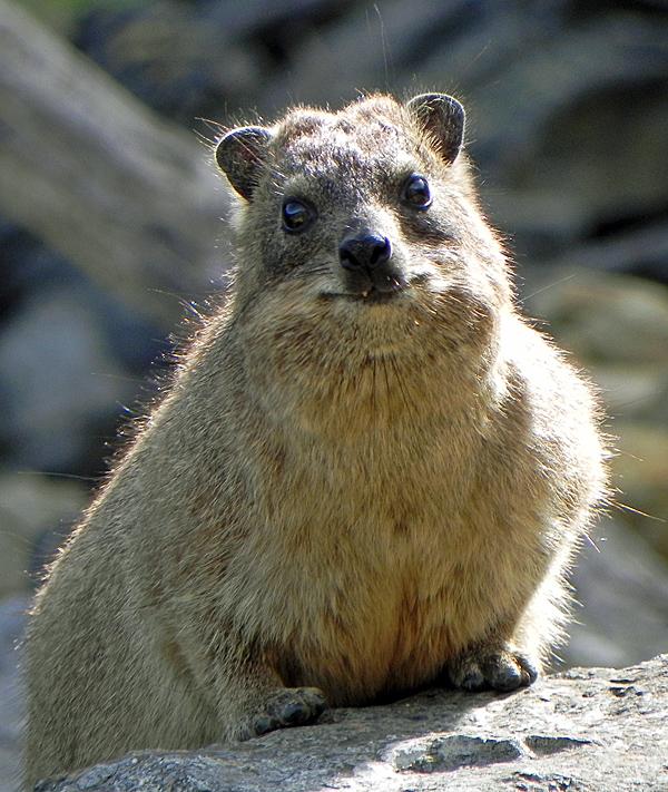 Un piccolo dassie che sbuca dalla roccia