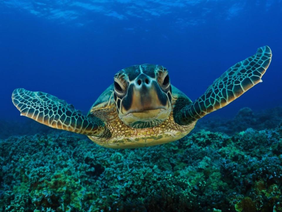 La specie delle tartarughe marine presente a Sombrero