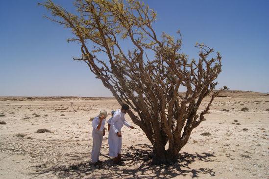 Un albero di incenso